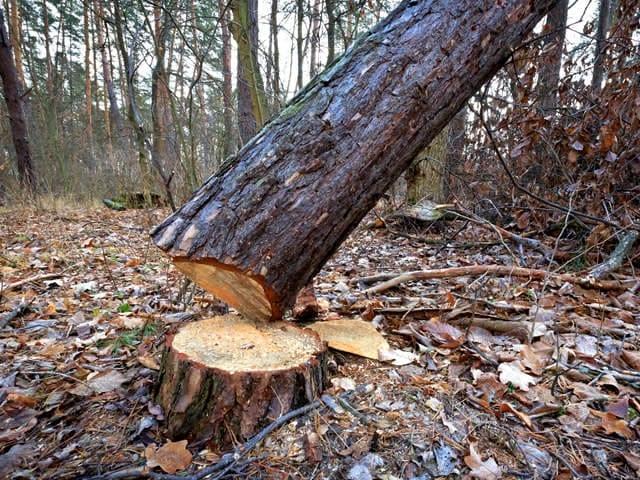 Het kappen van een boom