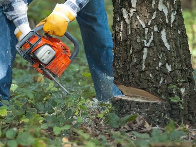 De techniek van het omzagen van bomen